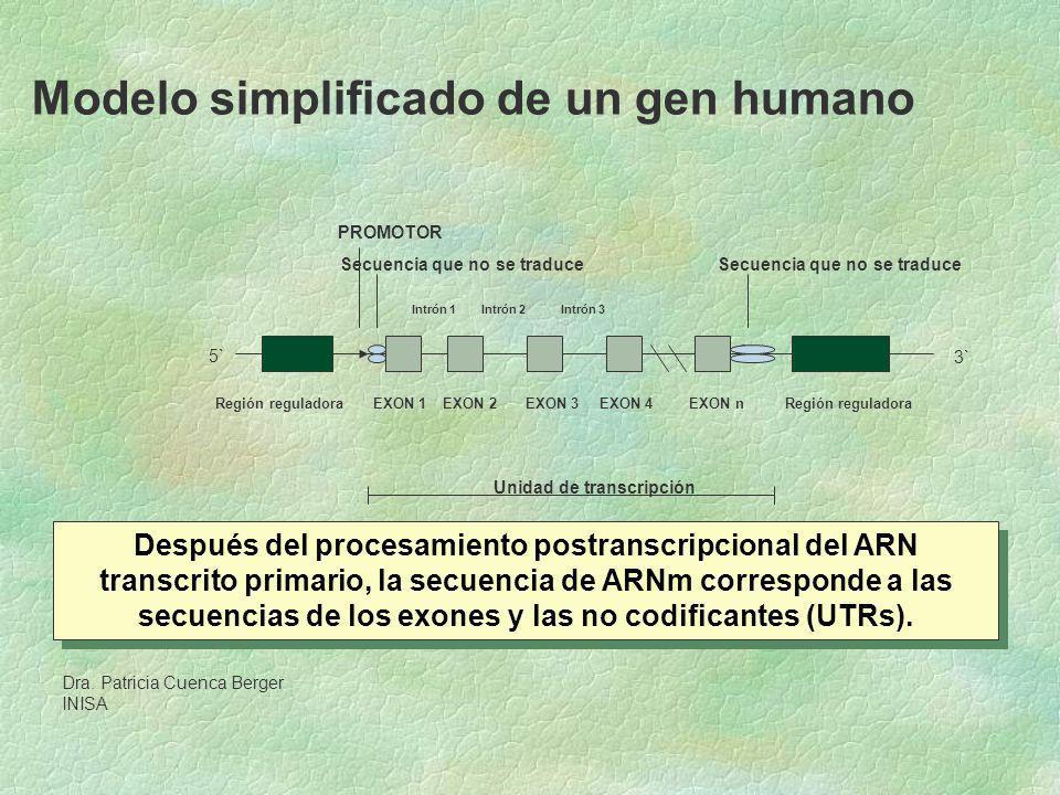 Modelo simplificado de un gen humano