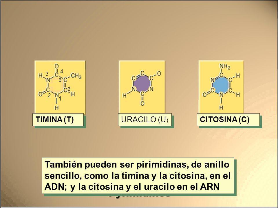 4 3. 5. 6. 2. 1. TIMINA (T) URACILO (U) CITOSINA (C)