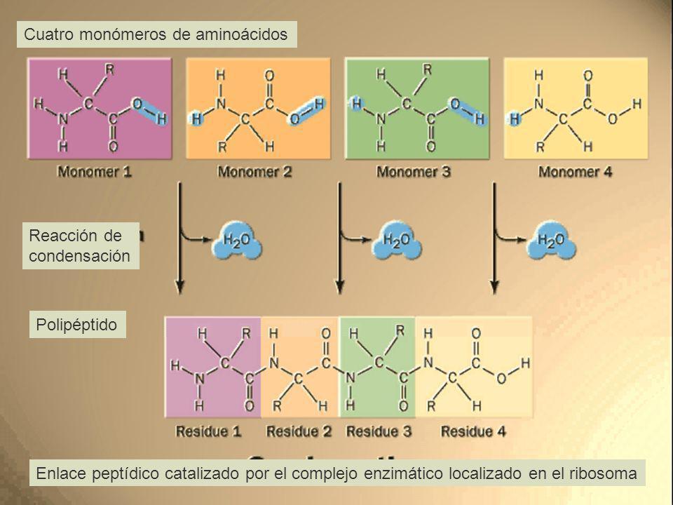 Cuatro monómeros de aminoácidos