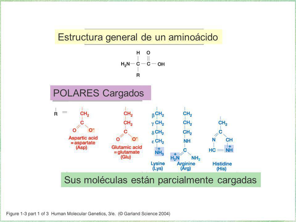 01_03.jpg Estructura general de un aminoácido POLARES Cargados