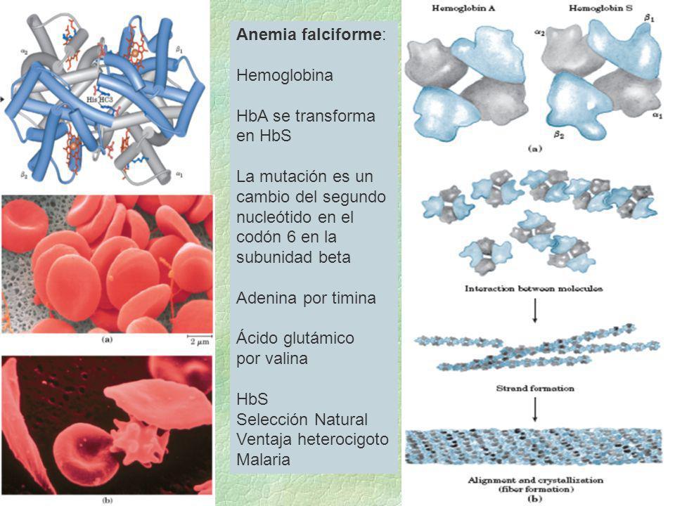 Anemia falciforme:Hemoglobina. HbA se transforma. en HbS. La mutación es un. cambio del segundo. nucleótido en el.