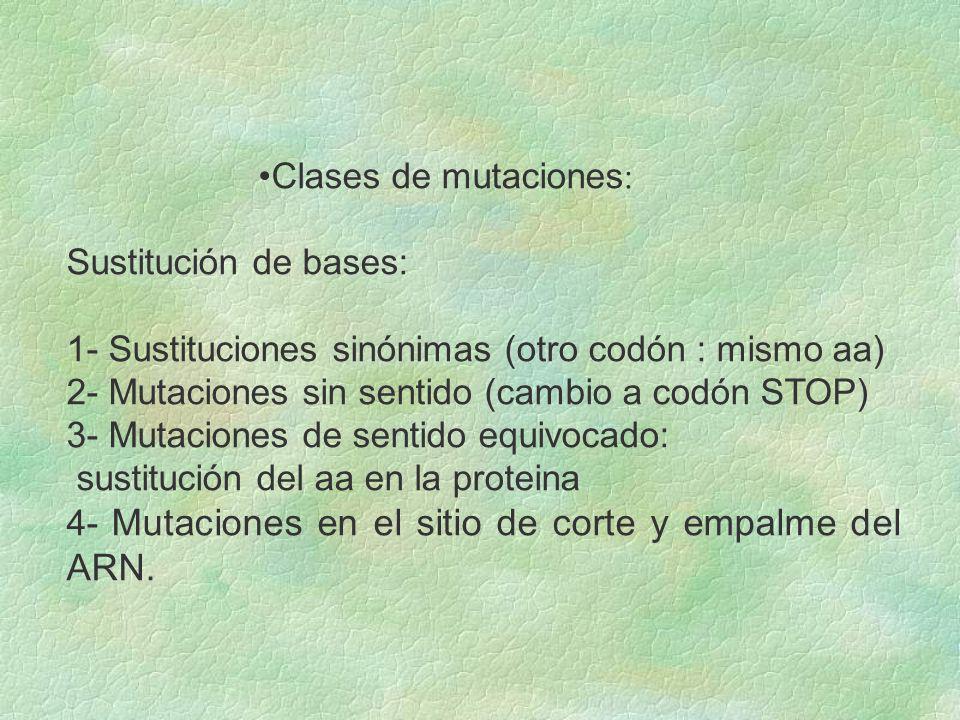 Clases de mutaciones: Sustitución de bases: 1- Sustituciones sinónimas (otro codón : mismo aa) 2- Mutaciones sin sentido (cambio a codón STOP)