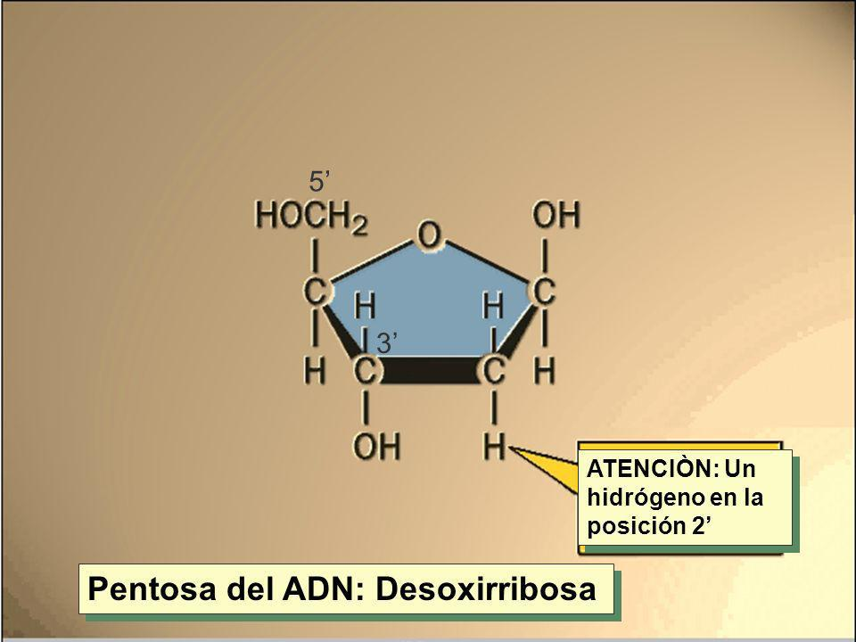 Pentosa del ADN: Desoxirribosa