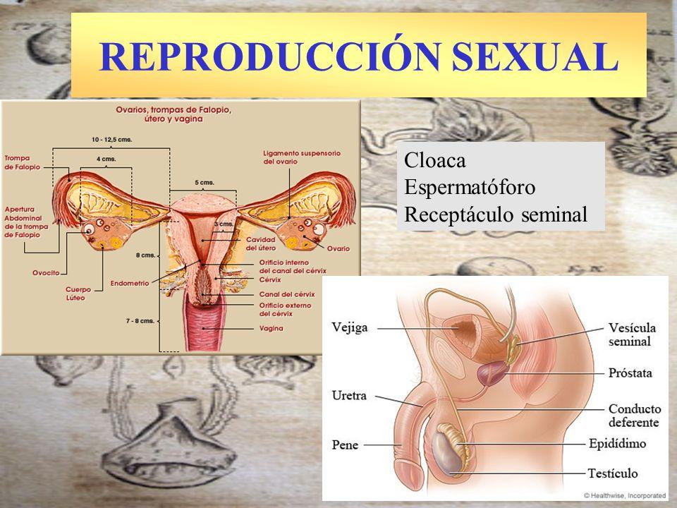 REPRODUCCIÓN SEXUAL Cloaca Espermatóforo Receptáculo seminal