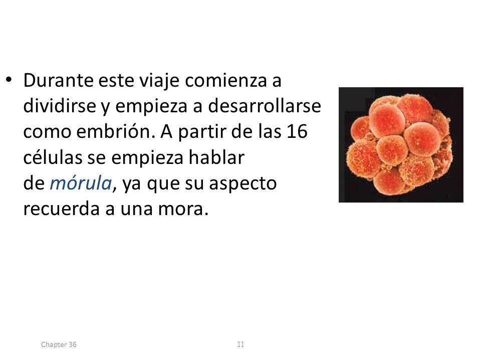 Durante este viaje comienza a dividirse y empieza a desarrollarse como embrión. A partir de las 16 células se empieza hablar de mórula, ya que su aspecto recuerda a una mora.