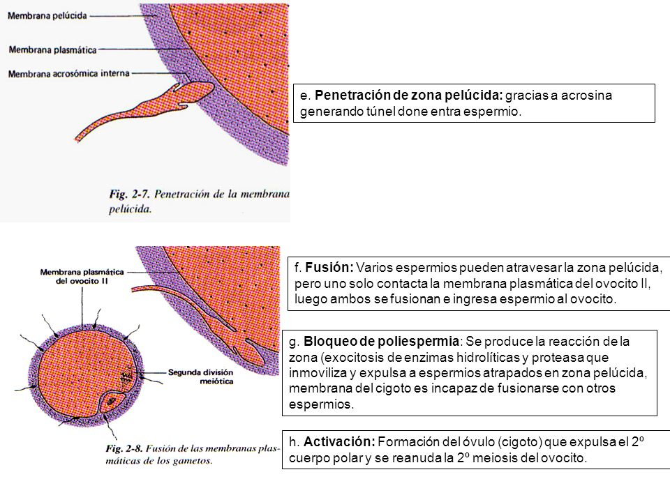 e. Penetración de zona pelúcida: gracias a acrosina generando túnel done entra espermio.