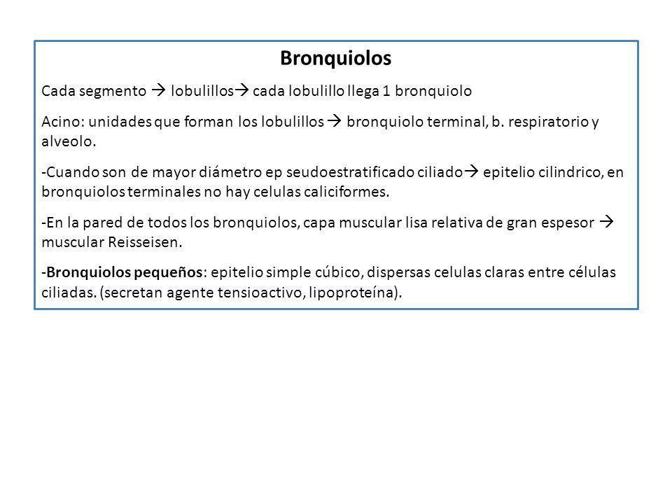 BronquiolosCada segmento  lobulillos cada lobulillo llega 1 bronquiolo.