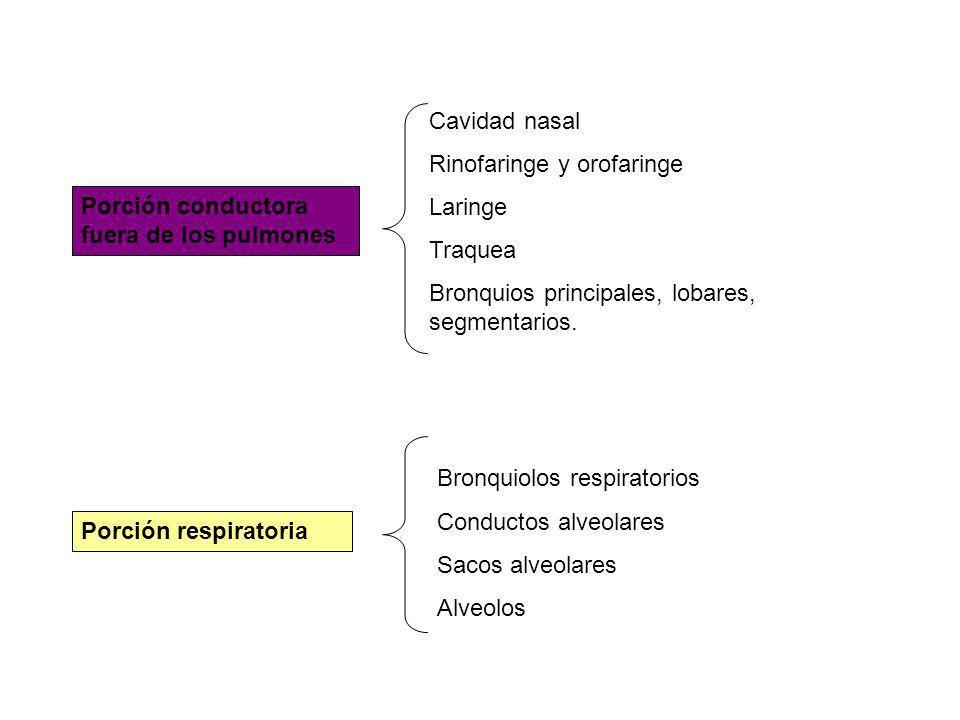 Cavidad nasalRinofaringe y orofaringe. Laringe. Traquea. Bronquios principales, lobares, segmentarios.