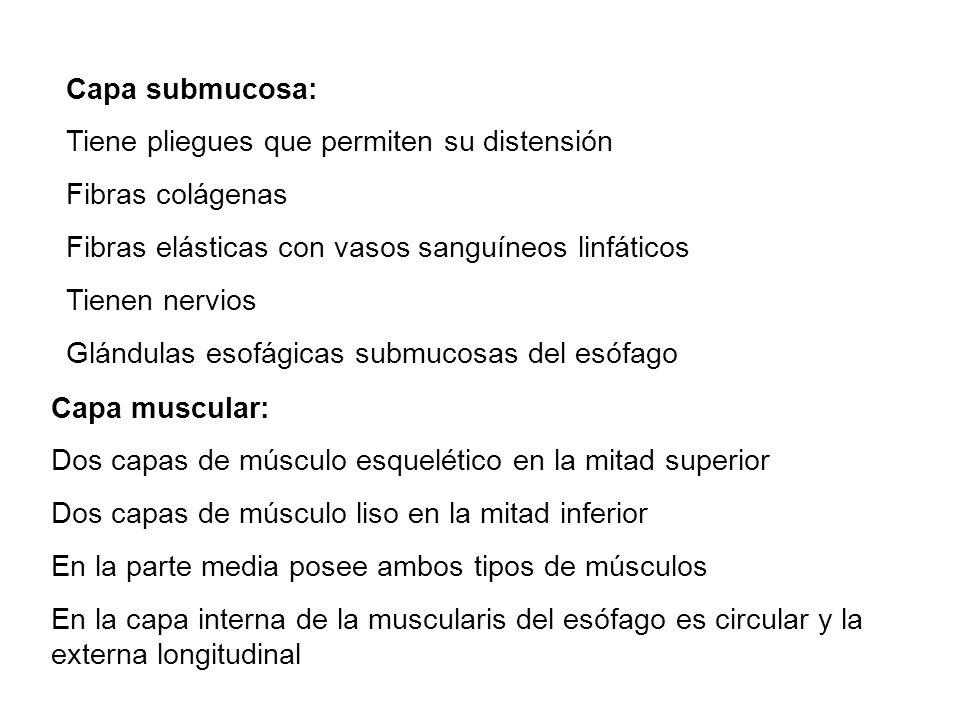 Capa submucosa: Tiene pliegues que permiten su distensión. Fibras colágenas. Fibras elásticas con vasos sanguíneos linfáticos.