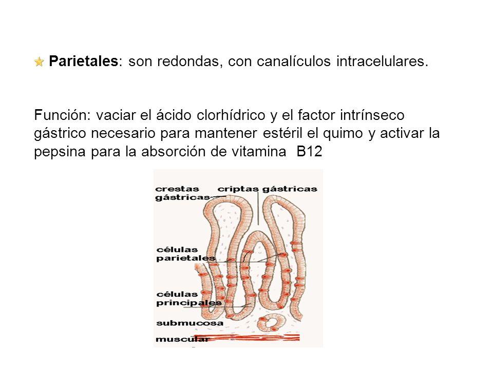 Parietales: son redondas, con canalículos intracelulares.