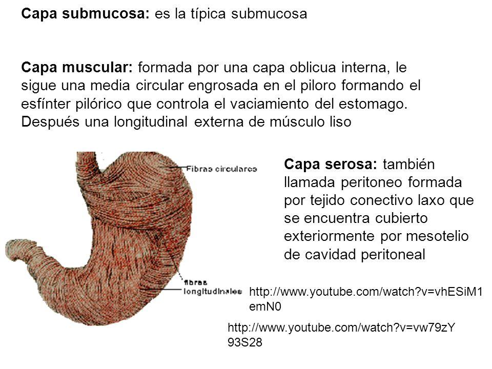 Capa submucosa: es la típica submucosa