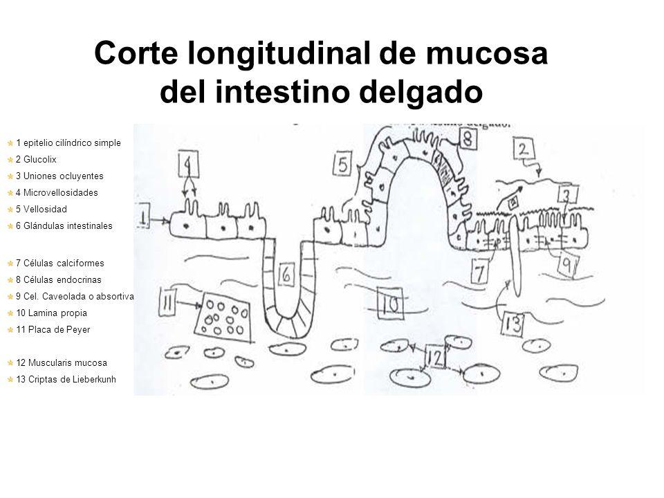 Corte longitudinal de mucosa del intestino delgado
