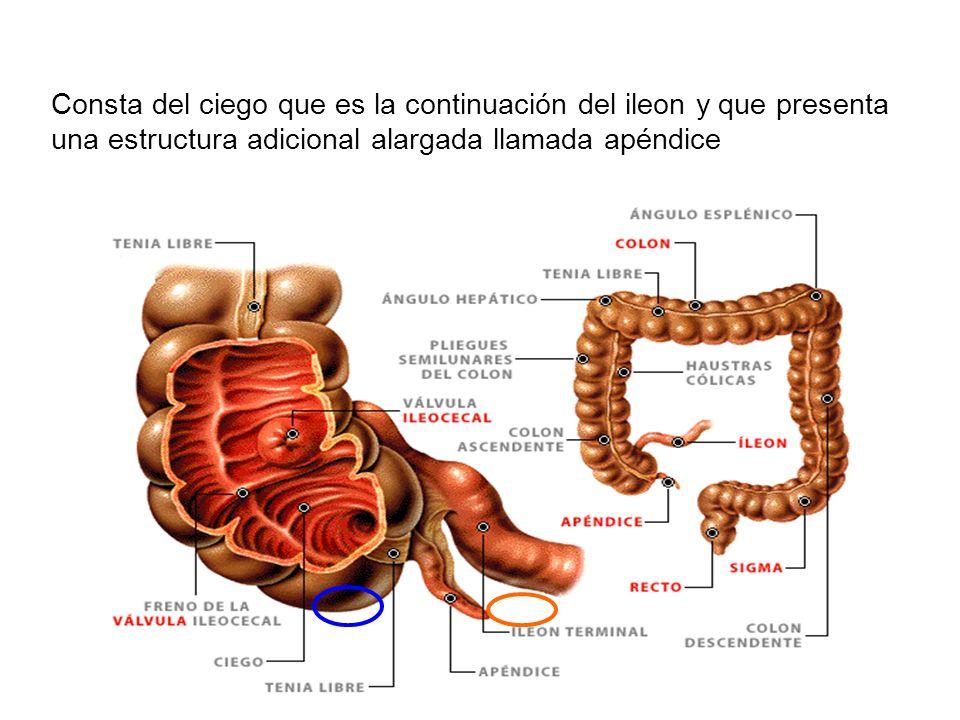 Consta del ciego que es la continuación del ileon y que presenta una estructura adicional alargada llamada apéndice