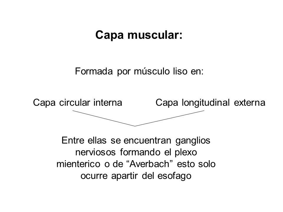 Formada por músculo liso en: