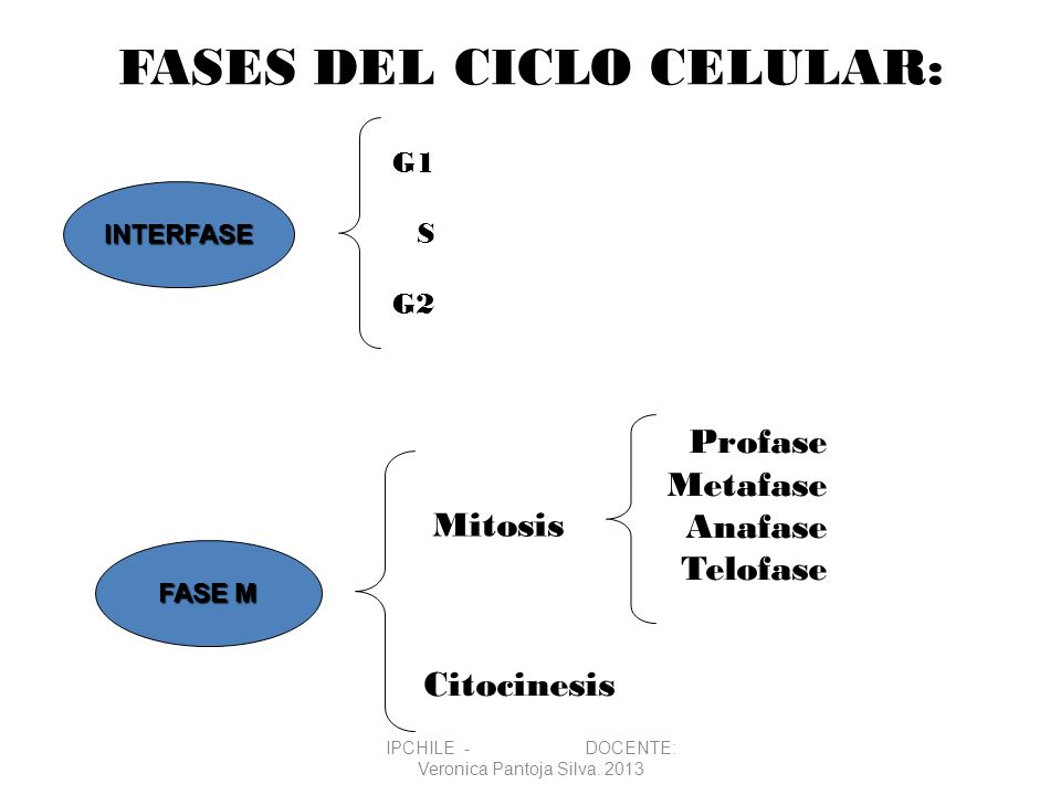FASES DEL CICLO CELULAR: