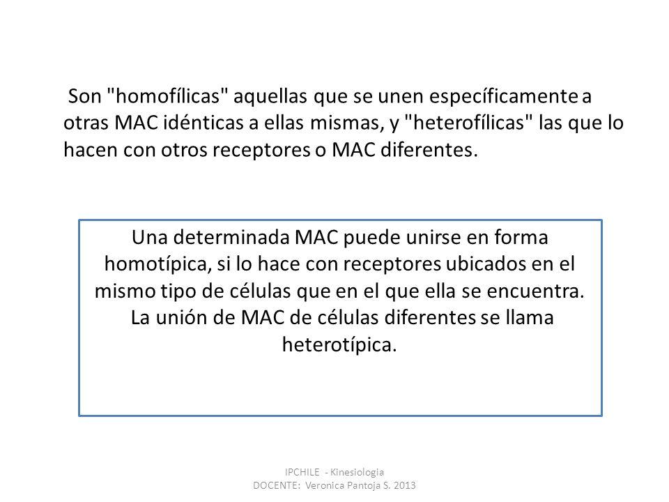 La unión de MAC de células diferentes se llama heterotípica.