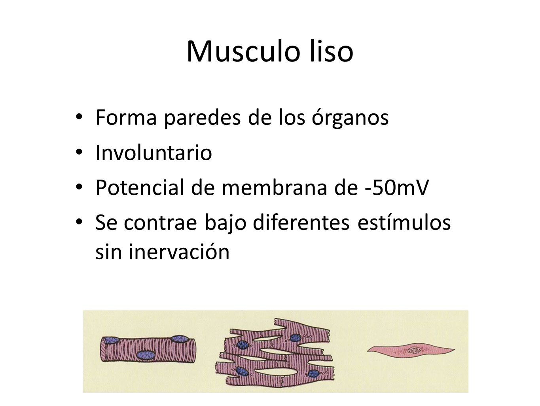 Musculo liso Forma paredes de los órganos Involuntario