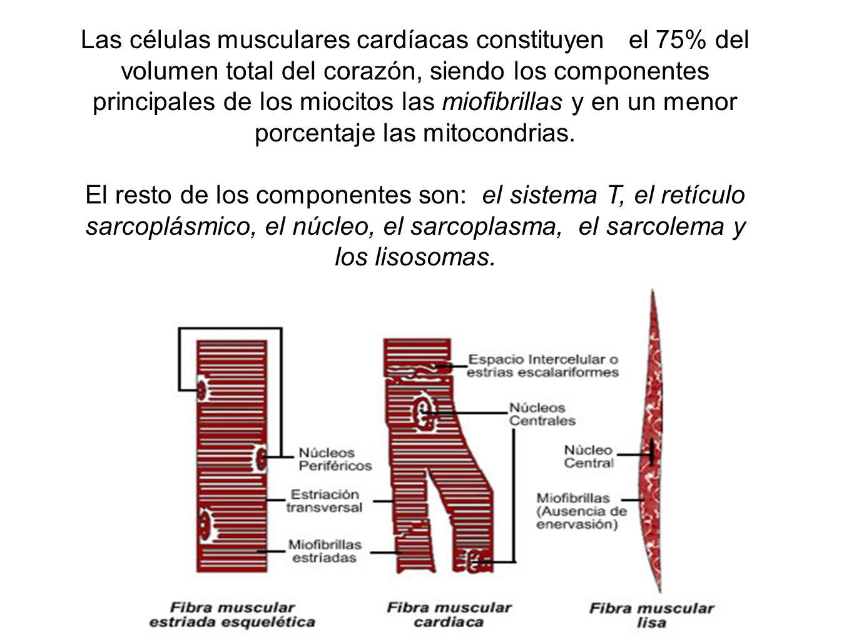 Las células musculares cardíacas constituyen el 75% del volumen total del corazón, siendo los componentes principales de los miocitos las miofibrillas y en un menor porcentaje las mitocondrias.