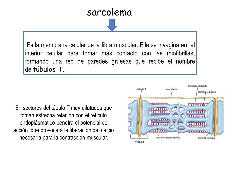 sarcolema