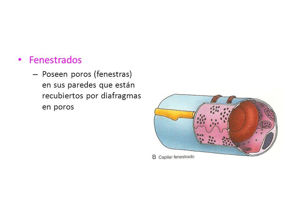 Fenestrados Poseen poros (fenestras) en sus paredes que están recubiertos por diafragmas en poros