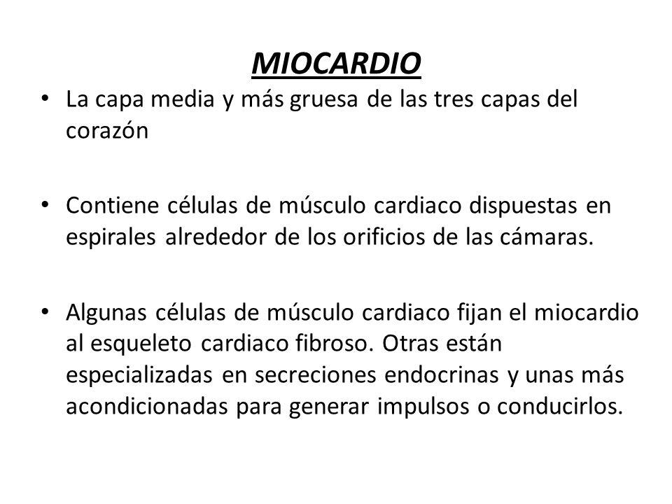 MIOCARDIO La capa media y más gruesa de las tres capas del corazón