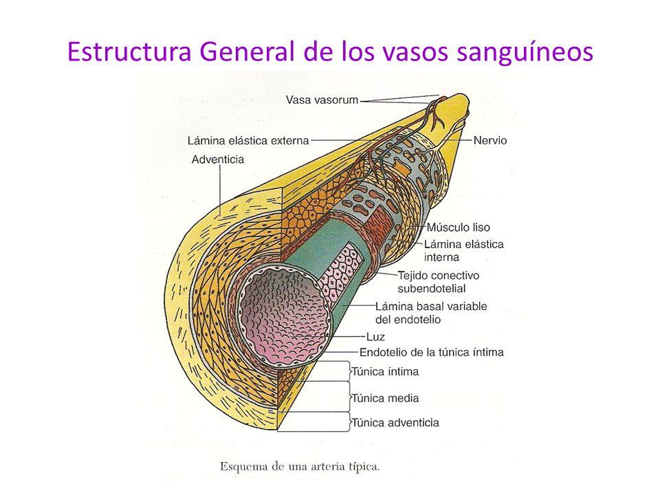 Estructura General de los vasos sanguíneos