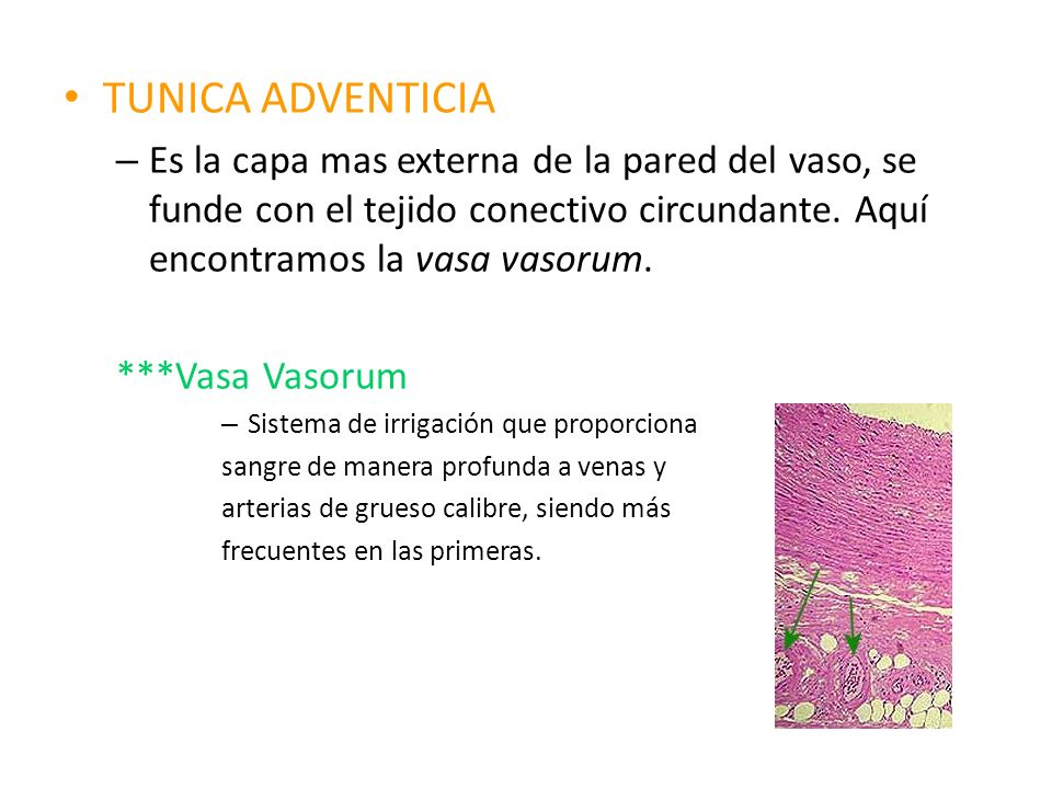 TUNICA ADVENTICIA Es la capa mas externa de la pared del vaso, se funde con el tejido conectivo circundante. Aquí encontramos la vasa vasorum.