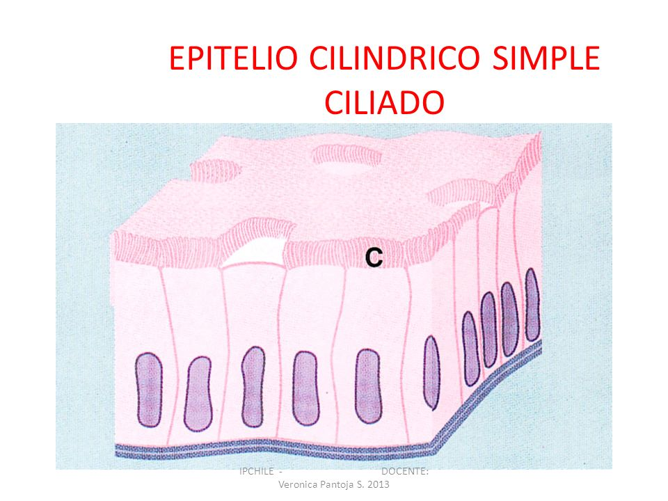 EPITELIO CILINDRICO SIMPLE CILIADO