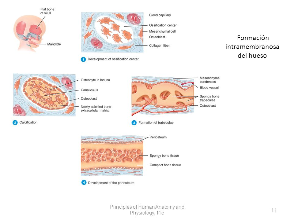 Formación intramembranosa del hueso