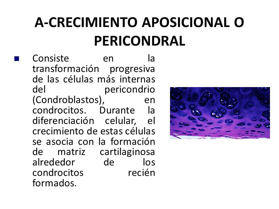 A-CRECIMIENTO APOSICIONAL O PERICONDRAL