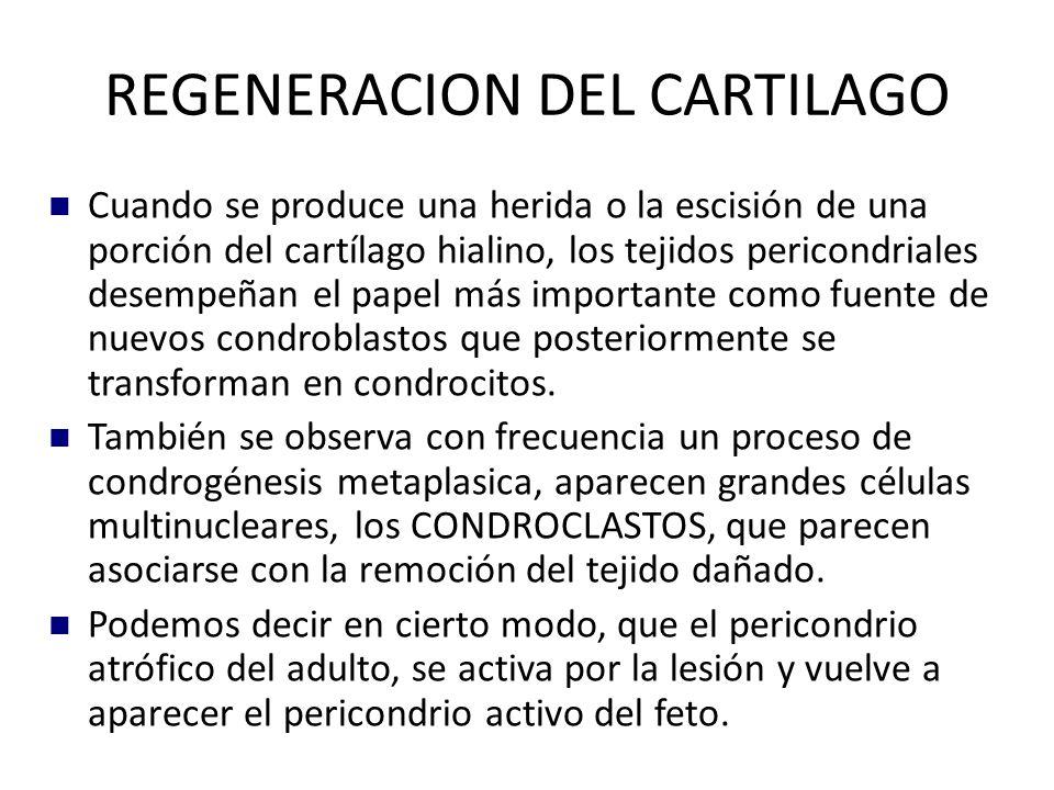 REGENERACION DEL CARTILAGO
