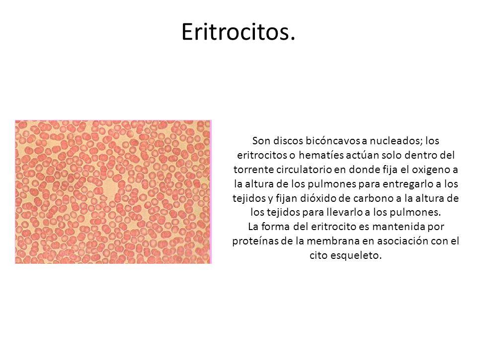 Eritrocitos.