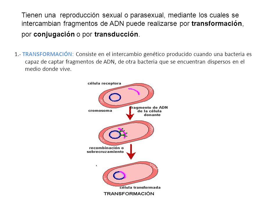 Tienen una reproducción sexual o parasexual, mediante los cuales se intercambian fragmentos de ADN puede realizarse por transformación, por conjugación o por transducción.