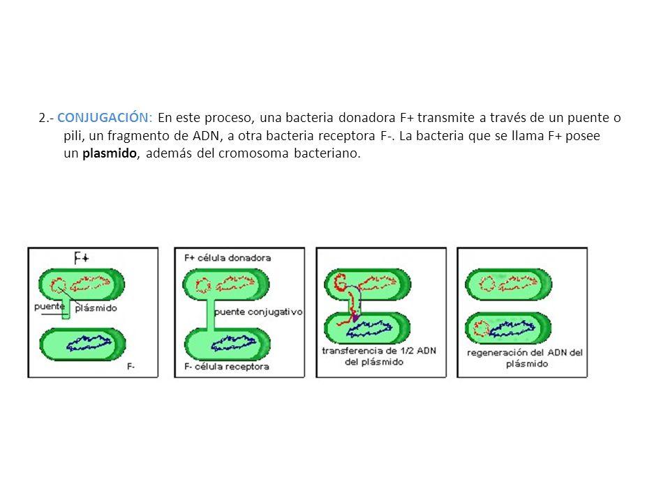2.- CONJUGACIÓN: En este proceso, una bacteria donadora F+ transmite a través de un puente o pili, un fragmento de ADN, a otra bacteria receptora F-.