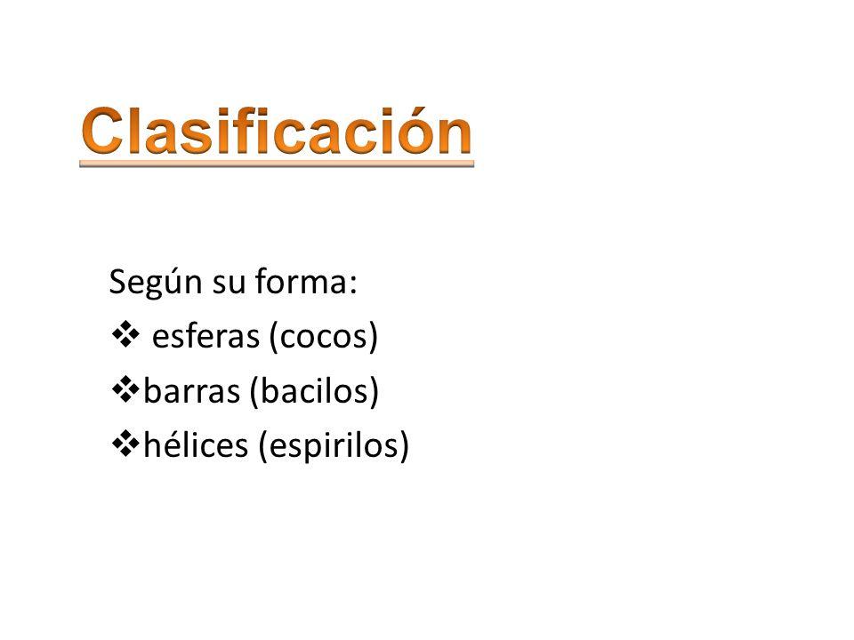 Clasificación Según su forma: esferas (cocos) barras (bacilos)