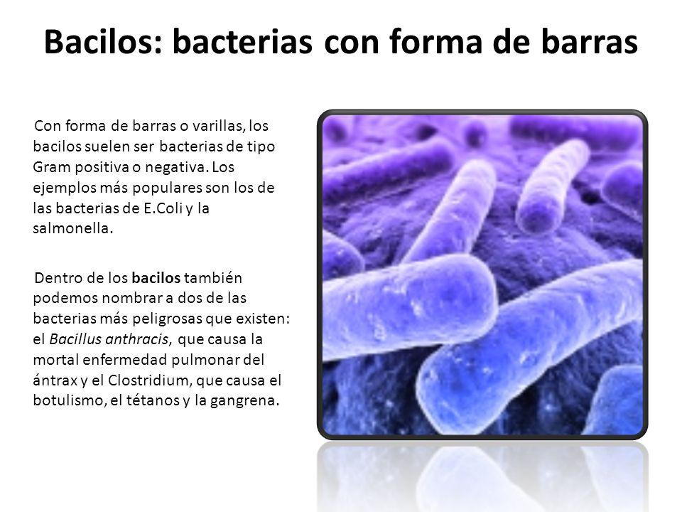 Bacilos: bacterias con forma de barras