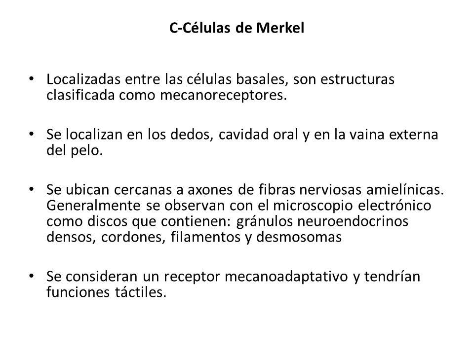 C-Células de Merkel Localizadas entre las células basales, son estructuras clasificada como mecanoreceptores.