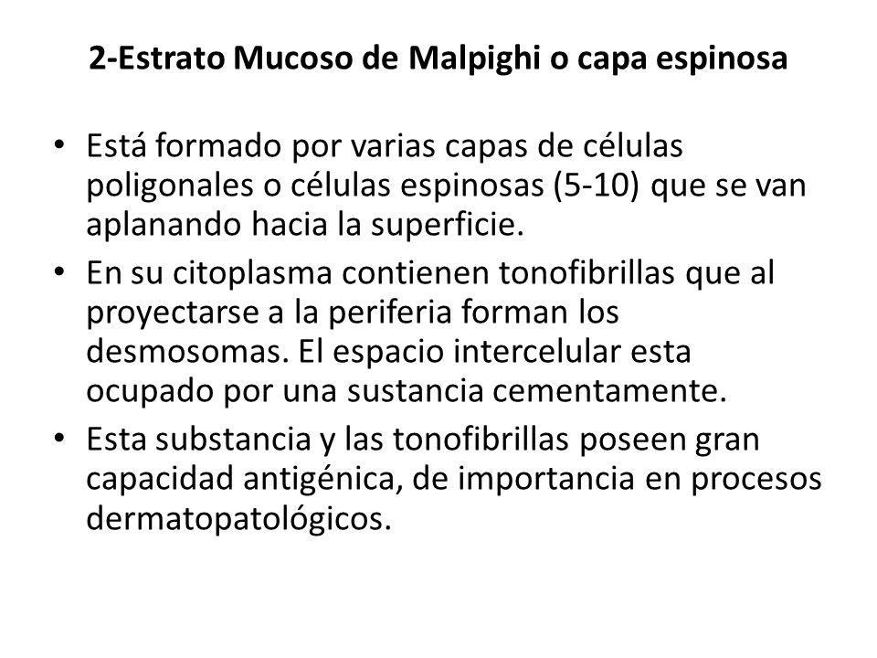 2-Estrato Mucoso de Malpighi o capa espinosa