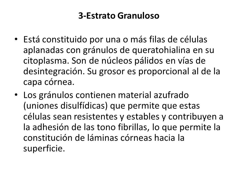 3-Estrato Granuloso