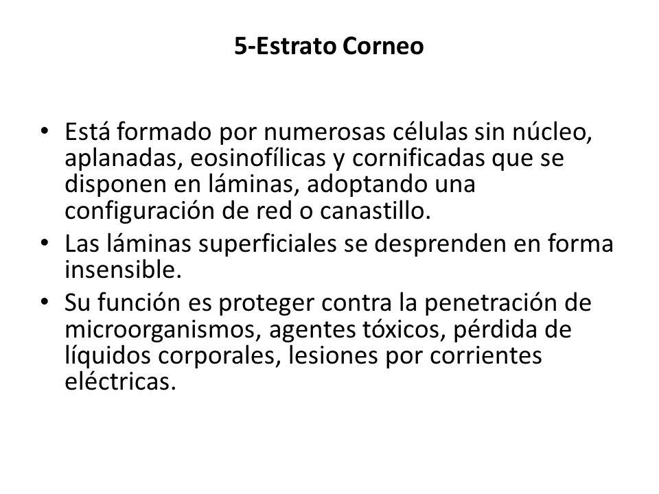 5-Estrato Corneo
