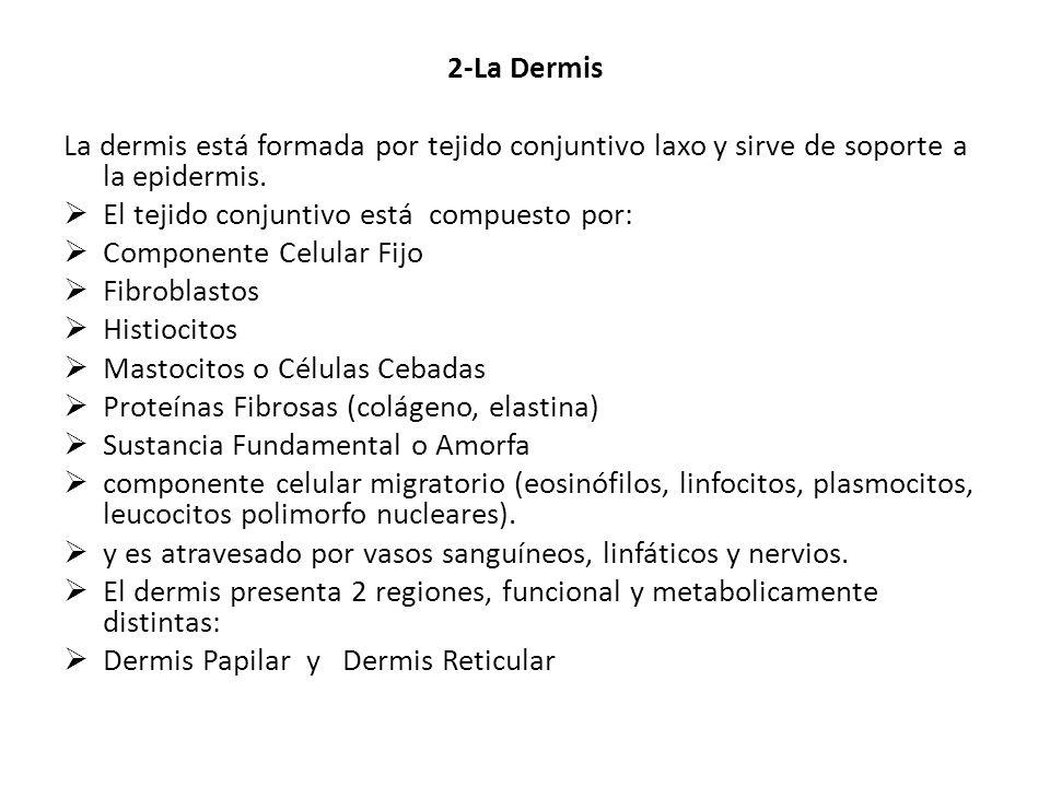 2-La Dermis La dermis está formada por tejido conjuntivo laxo y sirve de soporte a la epidermis. El tejido conjuntivo está compuesto por: