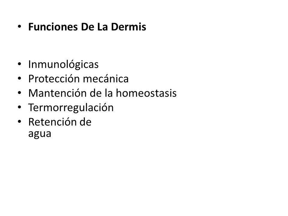 Funciones De La Dermis Inmunológicas. Protección mecánica. Mantención de la homeostasis. Termorregulación.