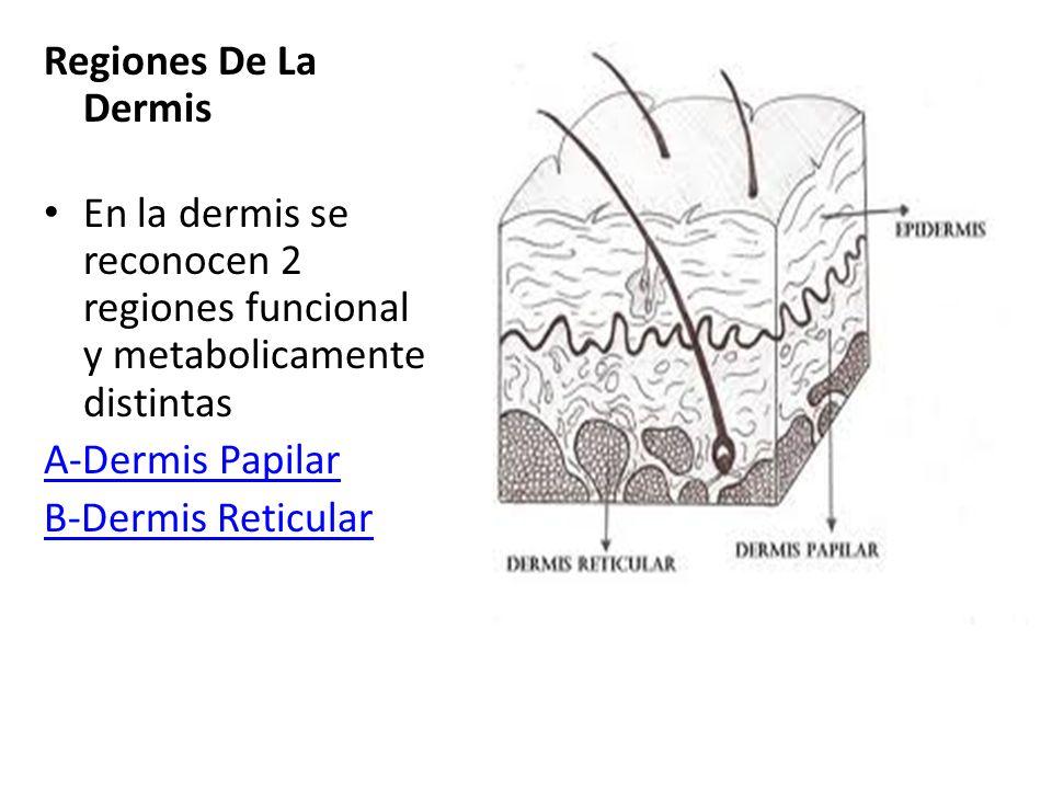 Regiones De La Dermis En la dermis se reconocen 2 regiones funcional y metabolicamente distintas. A-Dermis Papilar.