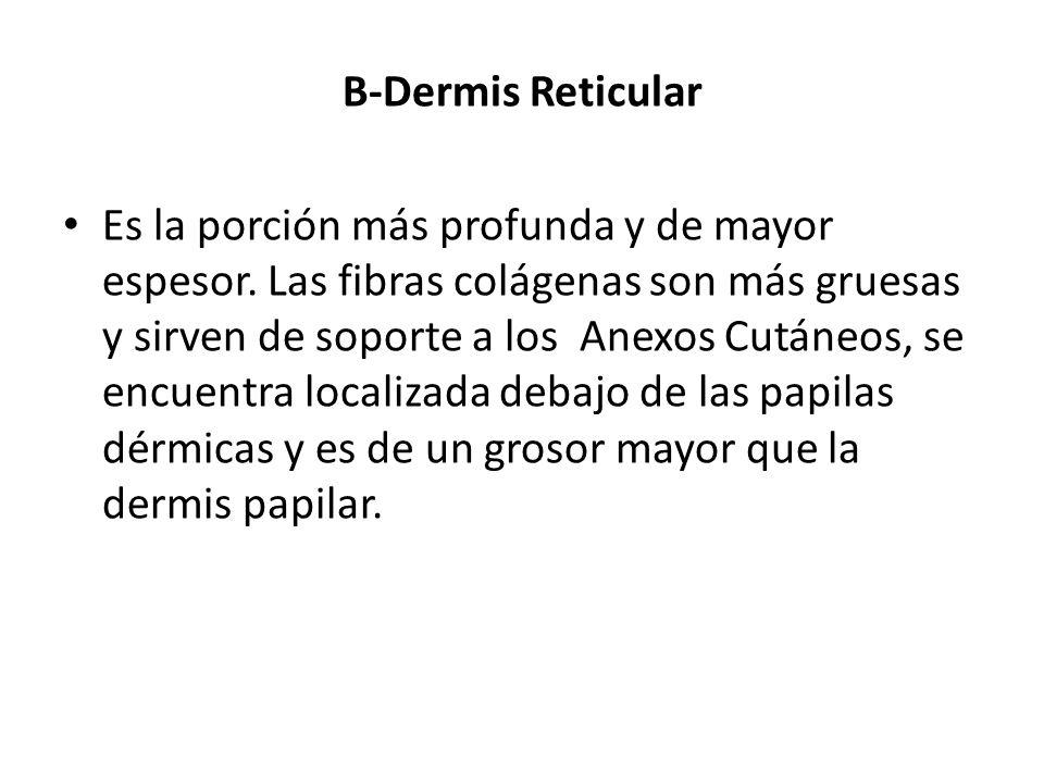 B-Dermis Reticular