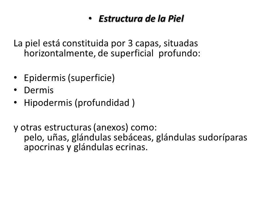Estructura de la Piel La piel está constituida por 3 capas, situadas horizontalmente, de superficial profundo: