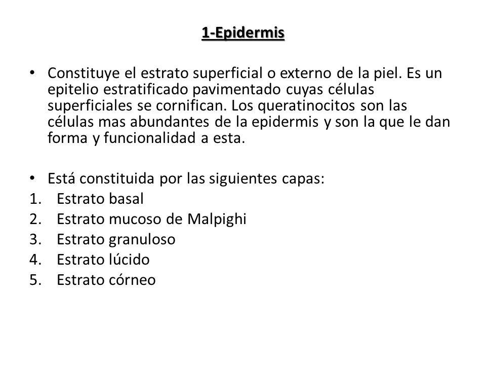 1-Epidermis