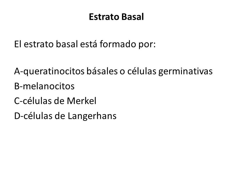 Estrato Basal El estrato basal está formado por: A-queratinocitos básales o células germinativas. B-melanocitos.