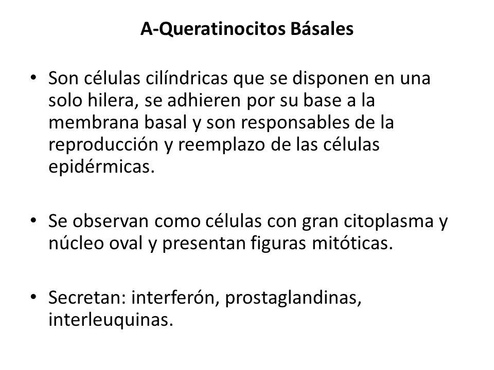 A-Queratinocitos Básales