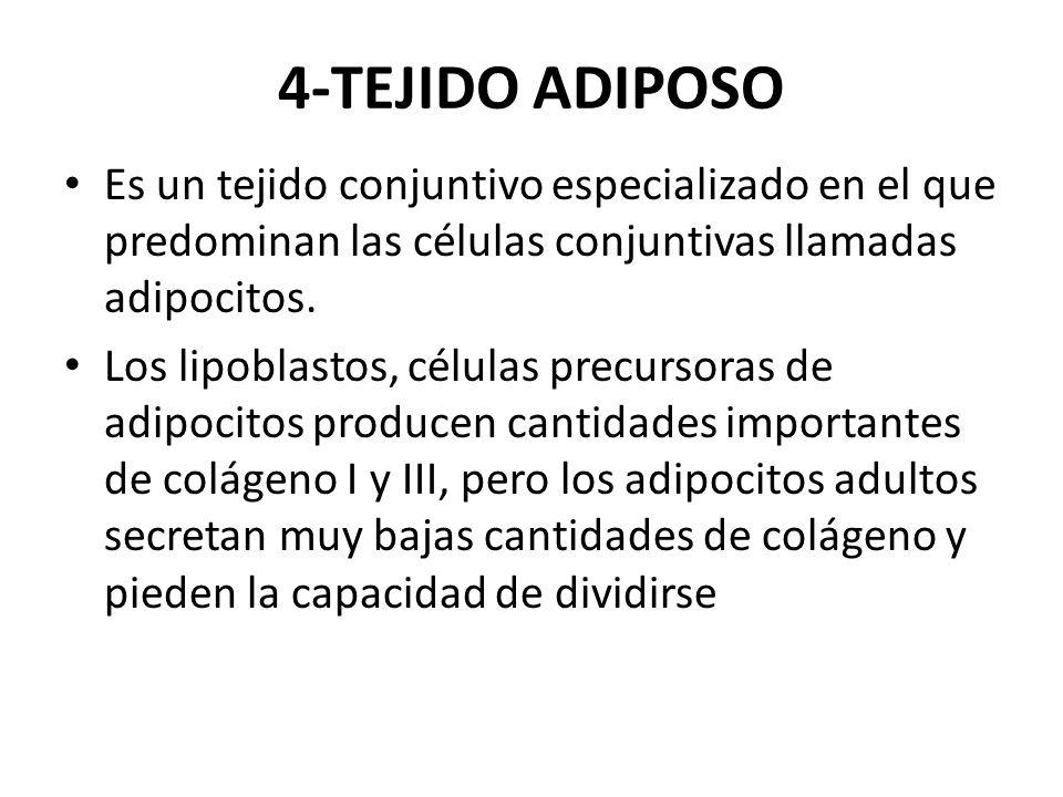 4-TEJIDO ADIPOSO Es un tejido conjuntivo especializado en el que predominan las células conjuntivas llamadas adipocitos.
