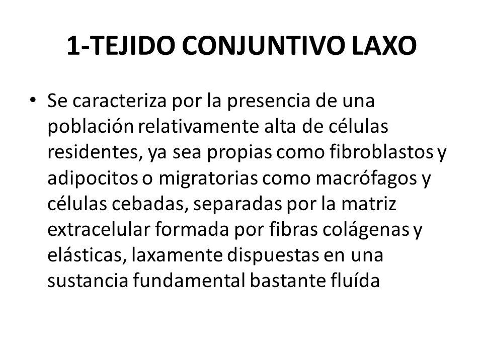1-TEJIDO CONJUNTIVO LAXO
